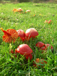 Clwydian Ecology photo of mushrooms in field